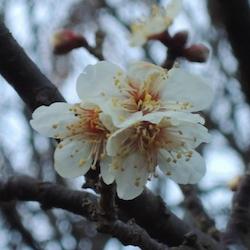 梅の開花を観測しました