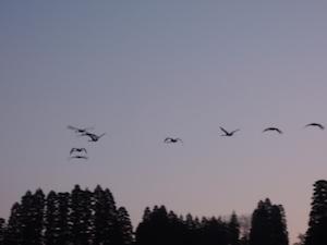 石畑池上空を舞う白鳥