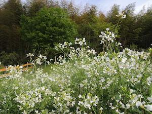 菜園で咲き誇る大根の花