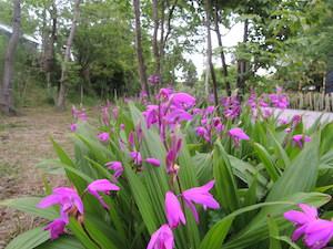 紫のシラン