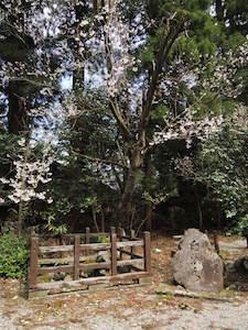 臼浪水(きゅうろうすい)と桜
