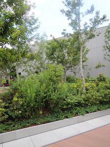 GINZA SIX ガーデン:コナラとカエデ