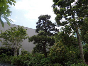 GINZA SIX ガーデン:シラカシ、アジサイ、カエデ他