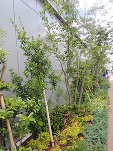 GINZA SIX ガーデン:クロモチ、サツキ、ヤブツバキ他