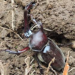 土から出てきたカブトムシ