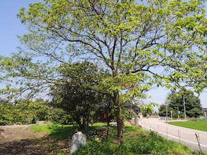 復活した栗の木