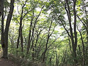 石動山の原生ブナ林