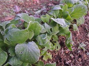 凍てつく小松菜