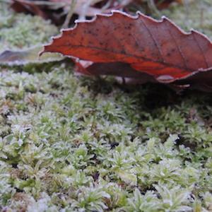 苔を覆う霜