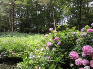 6月紫陽花祭りの太閤山ランド