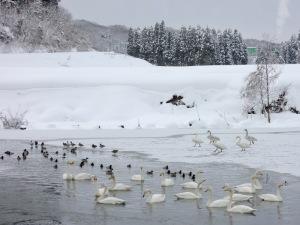 石畑池の白鳥