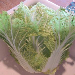 雪どけの白菜