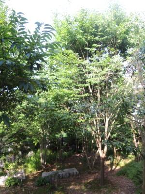 我が家のシンボルツリーを目指すケヤキ